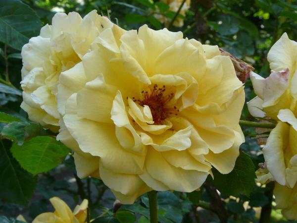 Rosa 'Postillion ®'