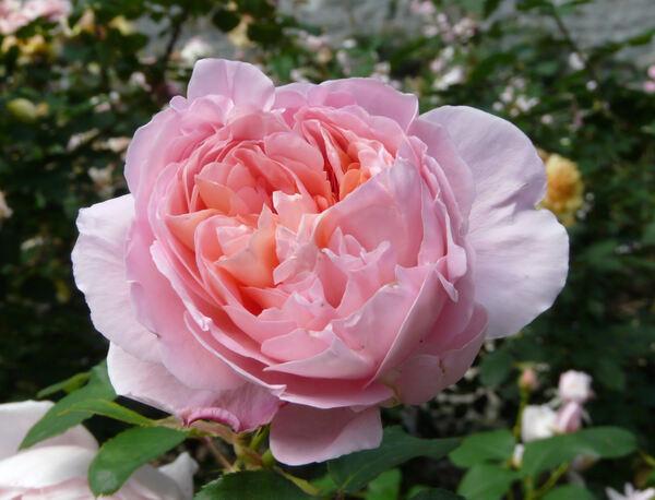 Rosa 'Dames de Chenonceau ®'