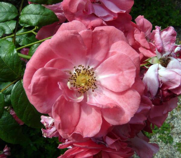 Rosa 'Rosy Border ®'