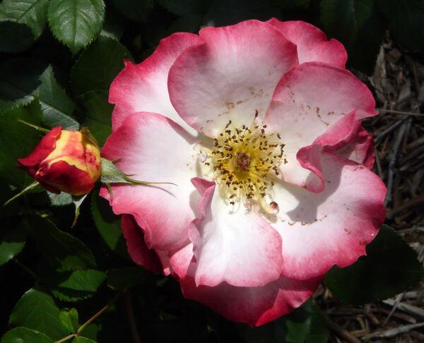 Rosa 'Betty Boop ™'