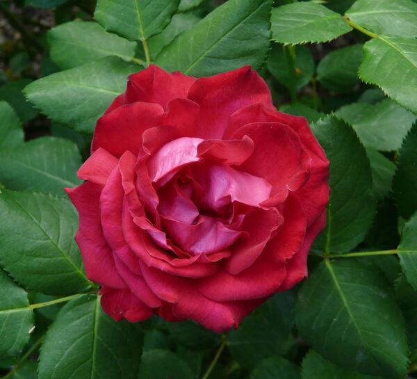 Rosa 'Maria McGredy'