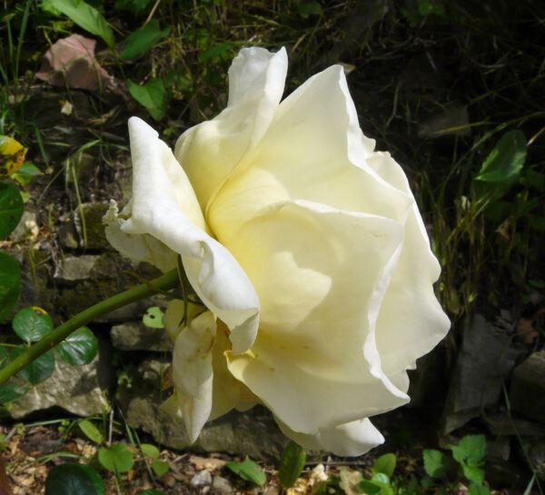 Rosa 'Elfe ®'