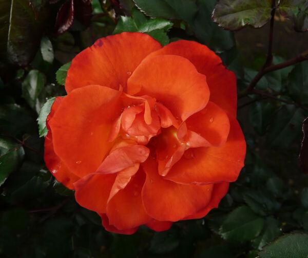Rosa 'Orange Passion ™'