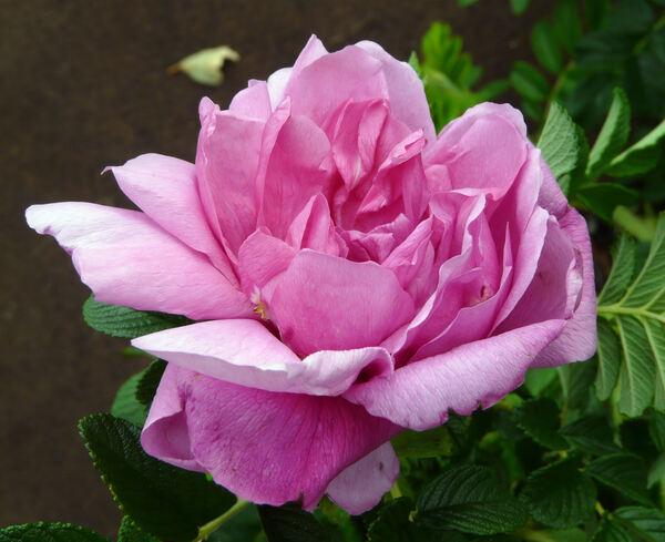 Rosa 'Pink Roadrunner ®'