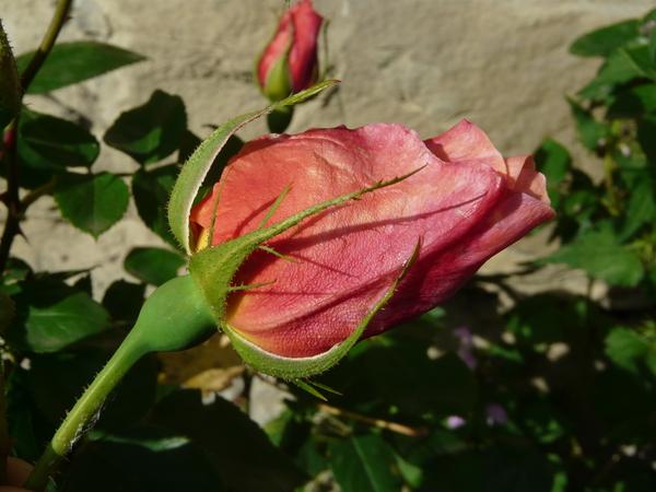 Rosa 'Madame Edouard Herriot, Cl.'