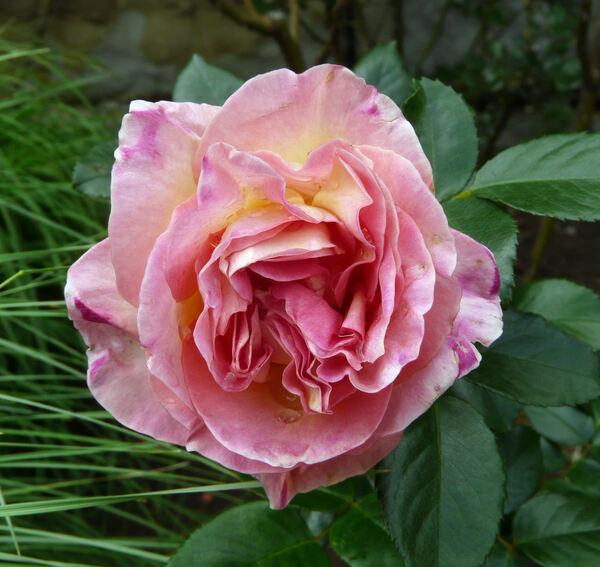 Rosa 'Elle ®'