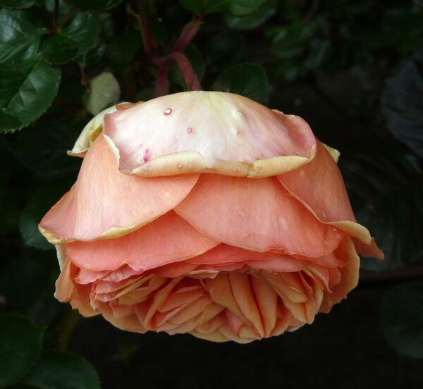 Rosa 'Ashram ®'