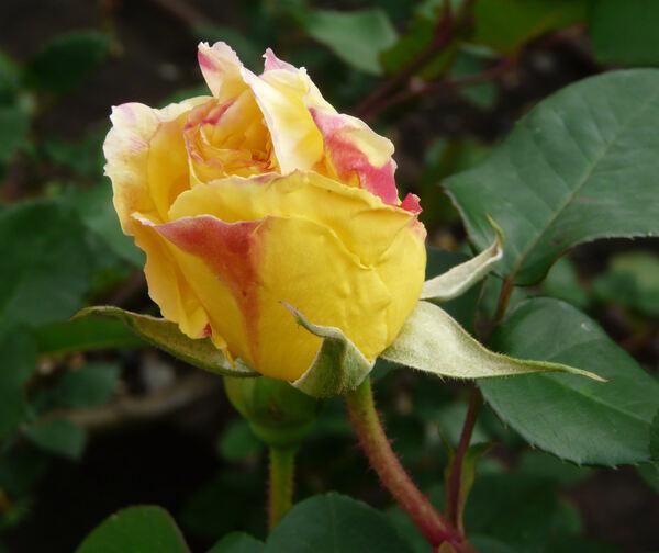 Rosa 'Allspice'