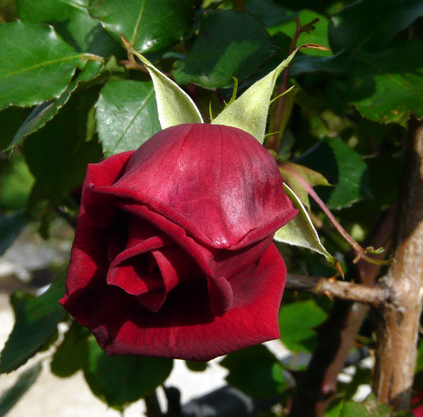 Rosa 'Crimson Glory, Cl.'