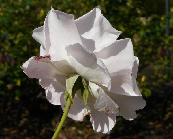 Rosa 'Lady Sylvia'