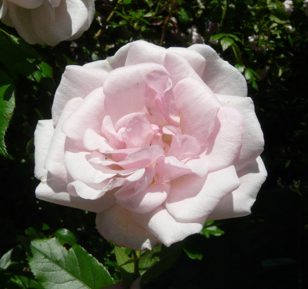Rosa 'Paul Transon'