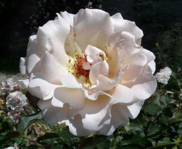Rosa 'Rokoko ®'