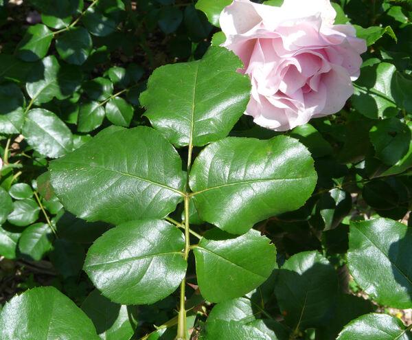 Rosa 'Calliope ®'