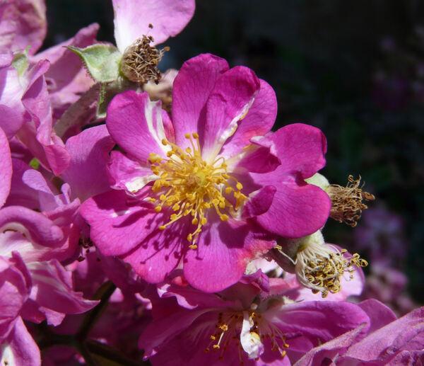 Rosa 'Lavender Friendship'