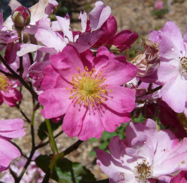 Rosa 'Yesterday ®'