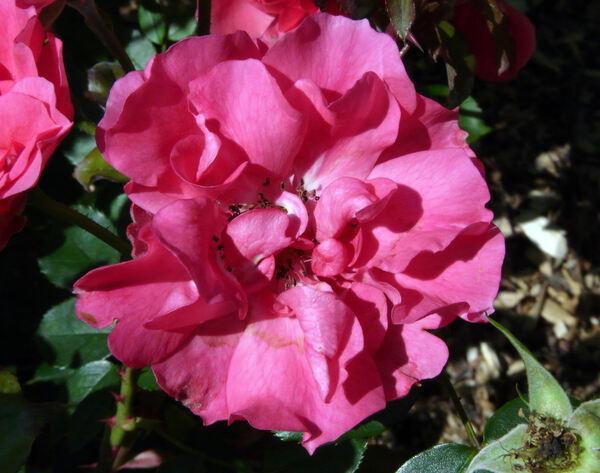 Rosa 'Rosy la Sevillana'