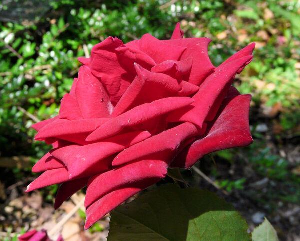 Rosa 'Douchka'