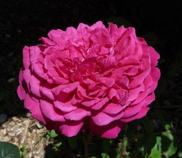 Rosa 'Othello'