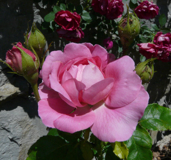 Rosa 'Bruno Perpoint'
