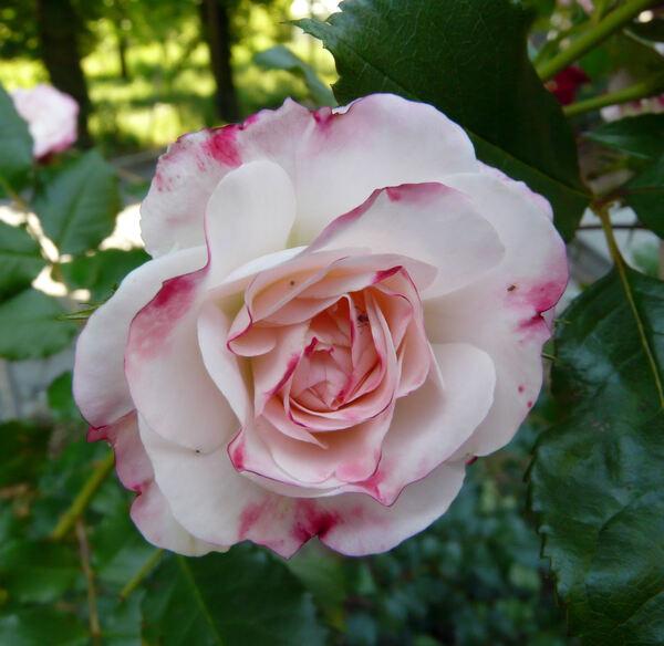 Rosa 'Rosenstadt Freising ®'