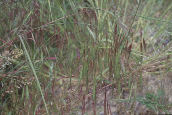 Anisantha sterilis (L.) Nevski