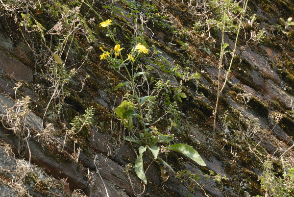 Hieracium australe Fr. subsp. australe
