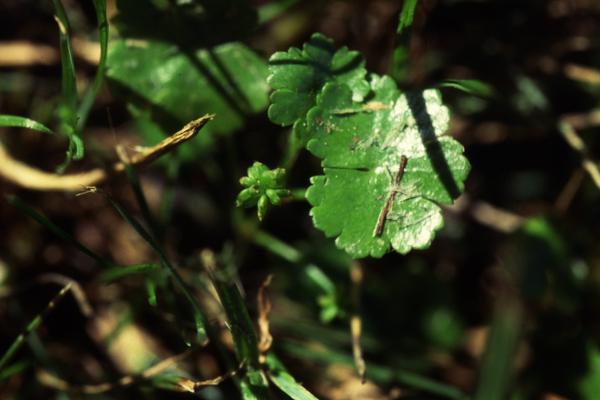 Hydrocotyle sibthorpioides Lam.