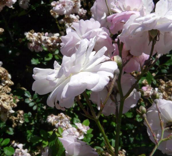 Rosa 'Brise Parfum ®'
