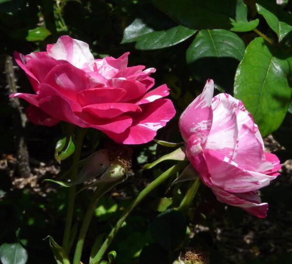 Rosa 'Rinascimento ®'