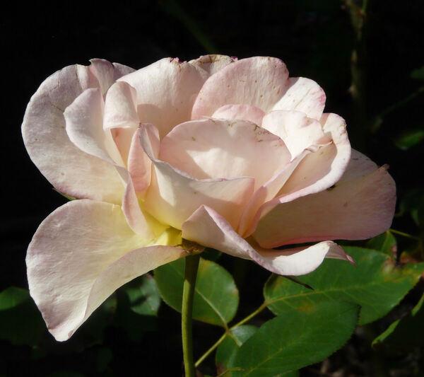 Rosa 'Fairest Cape ®'