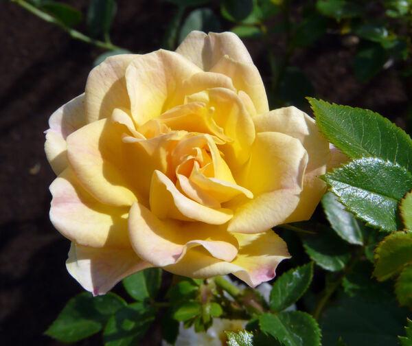 Rosa 'Yellow Fairy'