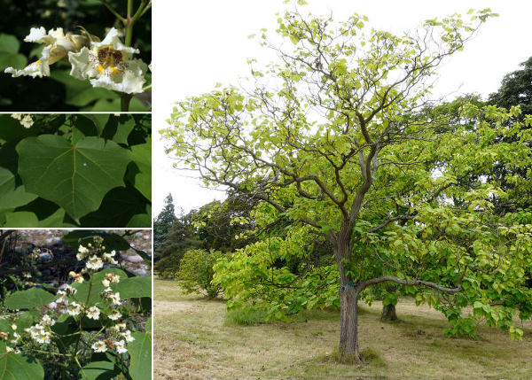 Catalpa ovata G.Don