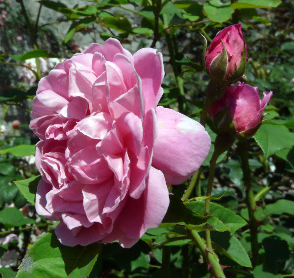 Rosa 'Cottage Rose ®'