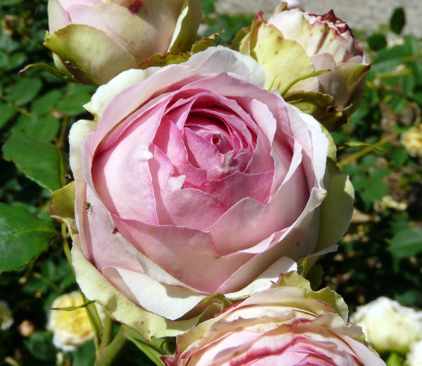 Rosa 'First Lady ®'