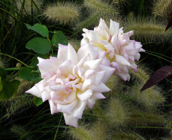 Rosa 'Antonelliana'