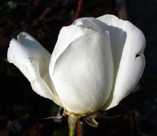 Rosa 'Argental'