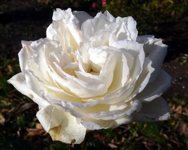 Rosa 'Edmond Deshayes'