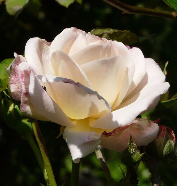 Rosa 'Gruss an Aachen Cl.'