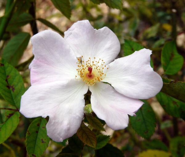 Rosa 'Heideröslein'
