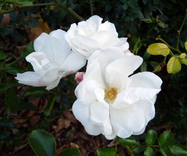 Rosa 'Innocencia ™'