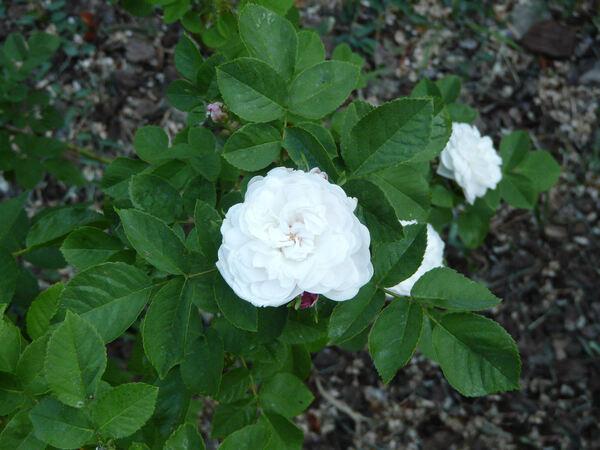Rosa 'Jeanne d'Arc'