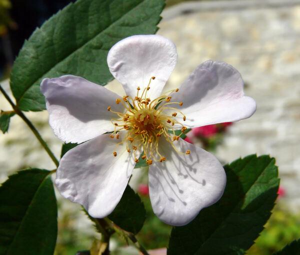 Rosa 'Maaseik'