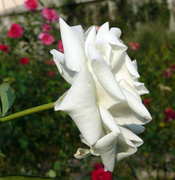Rosa 'Pascali ®'