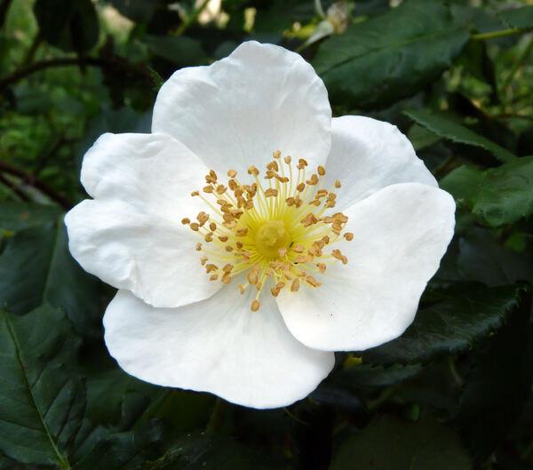 Rosa 'Paul's Perpetual White'
