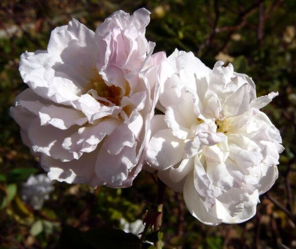 Rosa 'Princesse de Nassau'