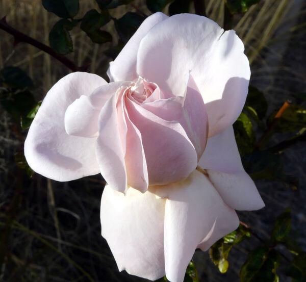 Rosa 'Promise'