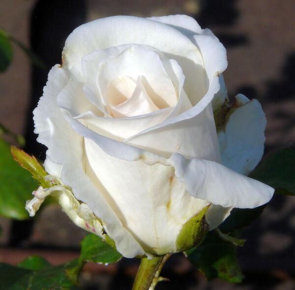 Rosa 'Puritas'