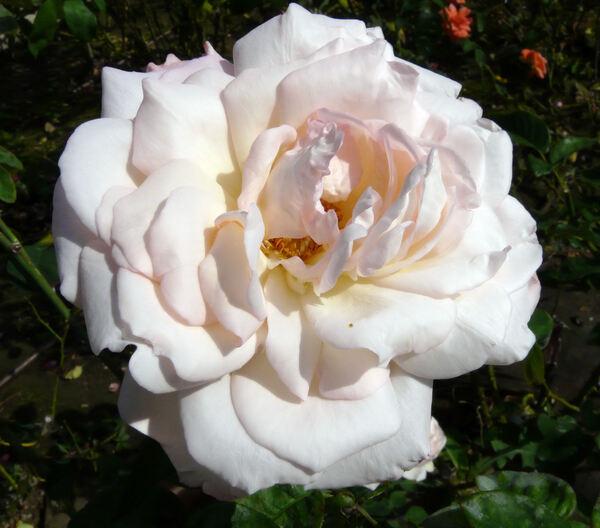 Rosa 'Quo Vadis?'
