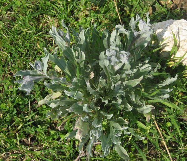 Cynoglossum cheirifolium L.