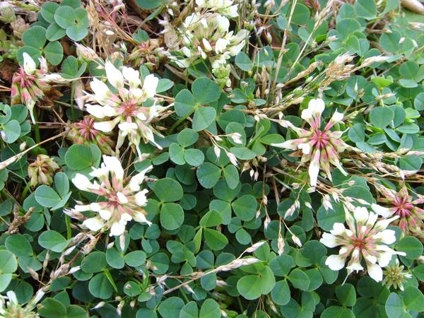 Trifolium repens L. subsp. prostratum Nyman